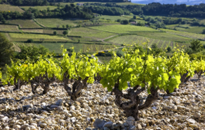 Vineyards in Lirac