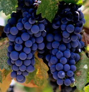 Merlot Grapes in France