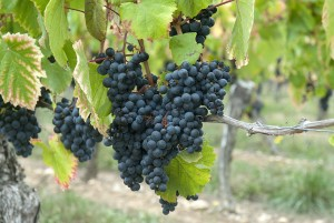 Malbec Hanging at Home in Cahors