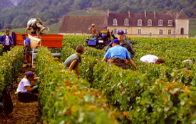 Wine Harvest – A Vintage Year?