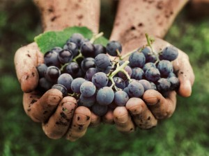 Get to Know Italian Wine Grapes