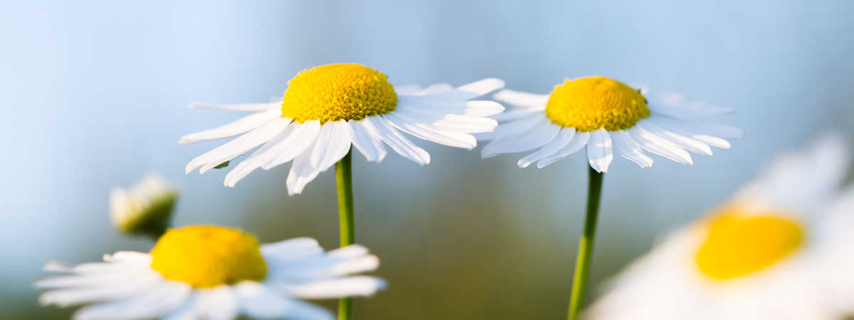 daisies_version2