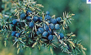 Gin's Required Botanical – Juniper