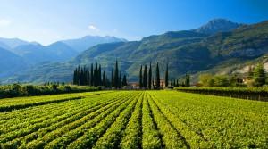 Beautiful Morning in an Italian Vineyard