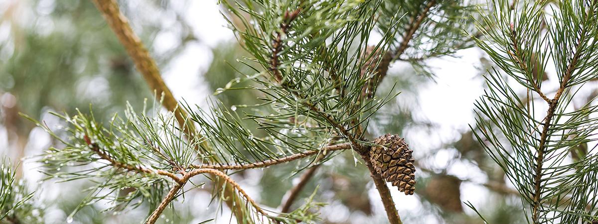 pinebranch_version2