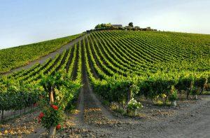Vineyard in Abruzzo, Italy