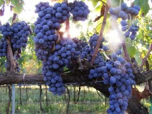 Stunning Italian Cesanese Grapes