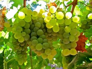 Grapes for beautiful Italian Vermentino wine