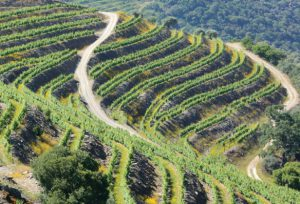 Majestic Port Vineyards in the Douro as the 2016 Vintage was declared