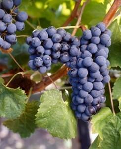 Sagrantino Grapes in Umbria