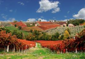 Vineyard near Montefalco